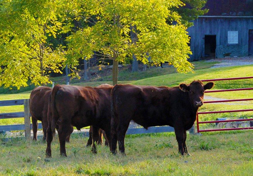 Golden Lamb - Cattle
